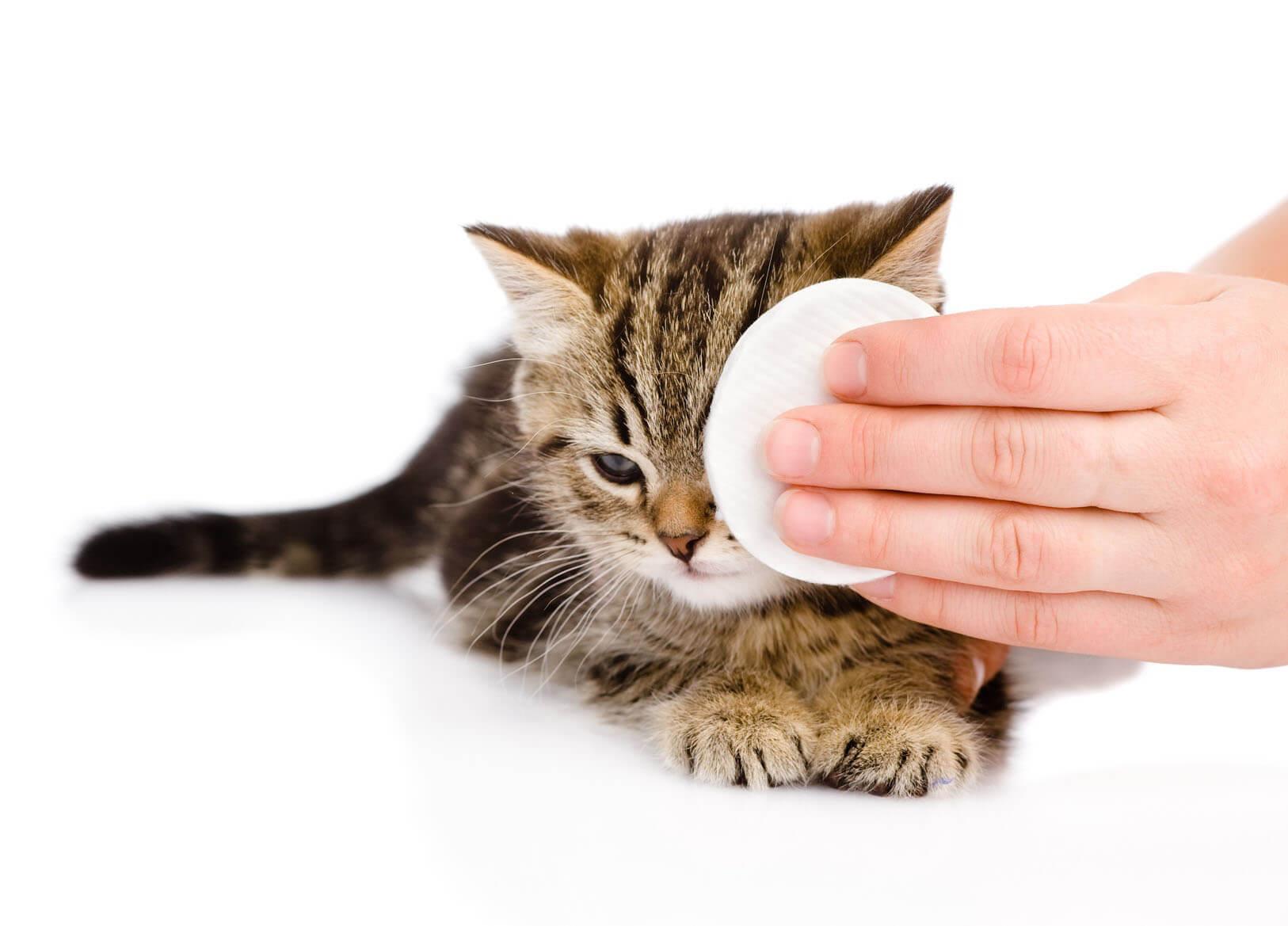 Протираем глаза котёнку ватным тампоном