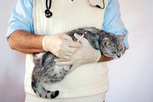 Профилактика кошачьего хламидиоза заключается в вакцинировании