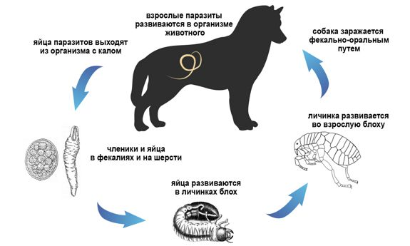 Процесс заражения собаки глистами