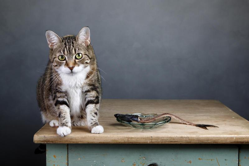 Равнодушие кота к еде в послеоперационный период является нормой