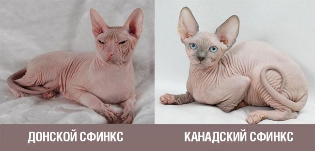Разница между голокожими кошками