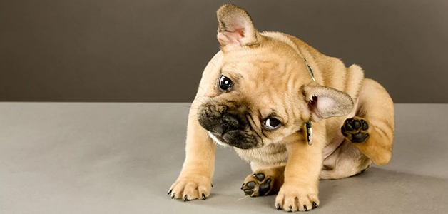 Расчесывание собакой ушей - признак ушных заболеваний