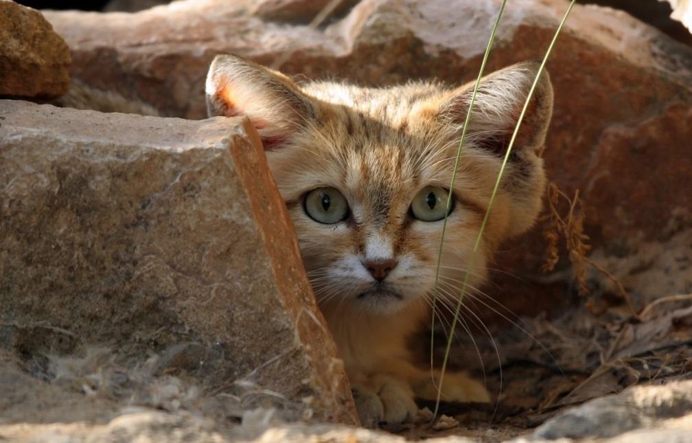 Редкий хищник способен разглядеть быстрого песчаного кота даже при свете дня