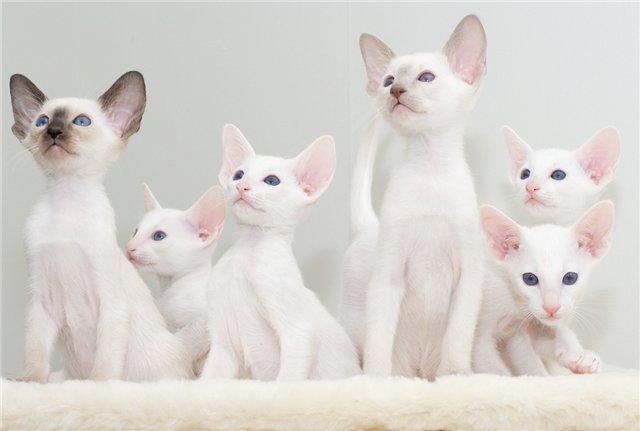 одственность черт форин вайта и сиамской кошки видна невооруженным глазом