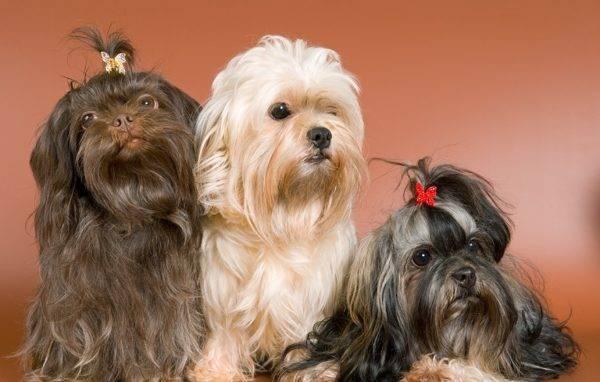 Русская болонка - это своего рода собака-компаньон