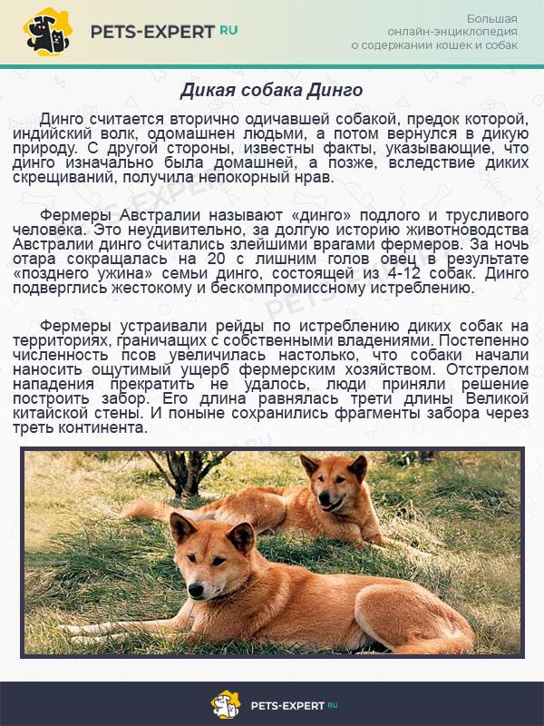 Дикая собака Динго