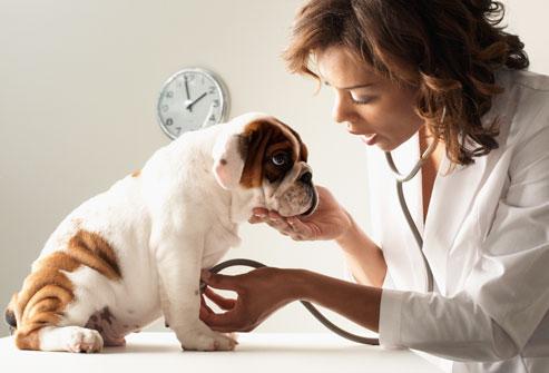 Самой распространённой причиной болезней ушей собак является засорение слухового прохода