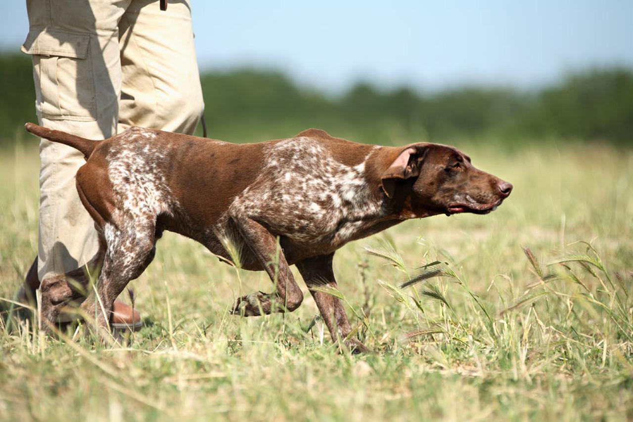 Самыми безопасными для людей являются охотничьи породы собак