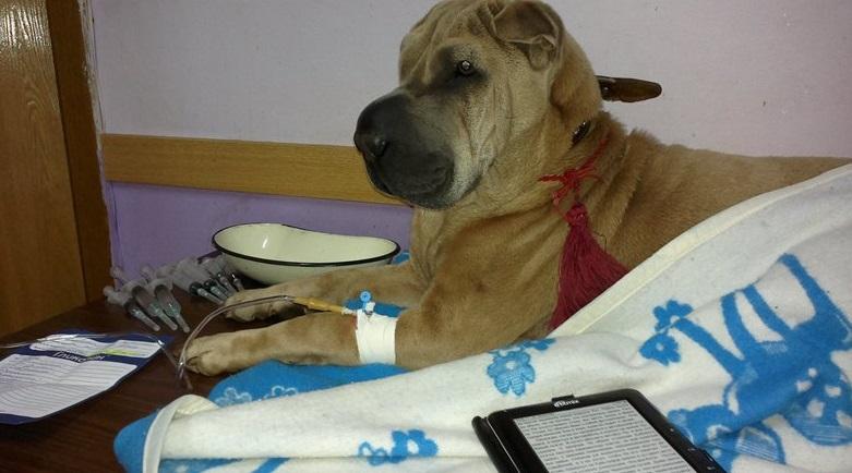Своевременная очистка организма собаки от токсинов позволит избежать второй стадии энцефалита