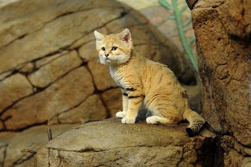 Свое латинское название дикий кот получил, благодаря этой исторической встрече