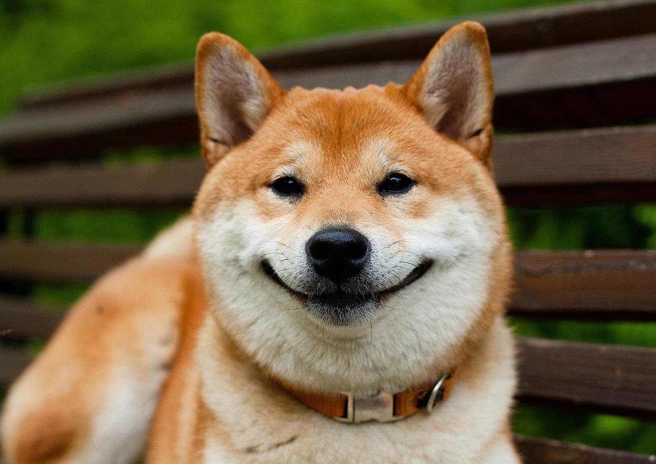 Сиба ину - иногда собака улыбается