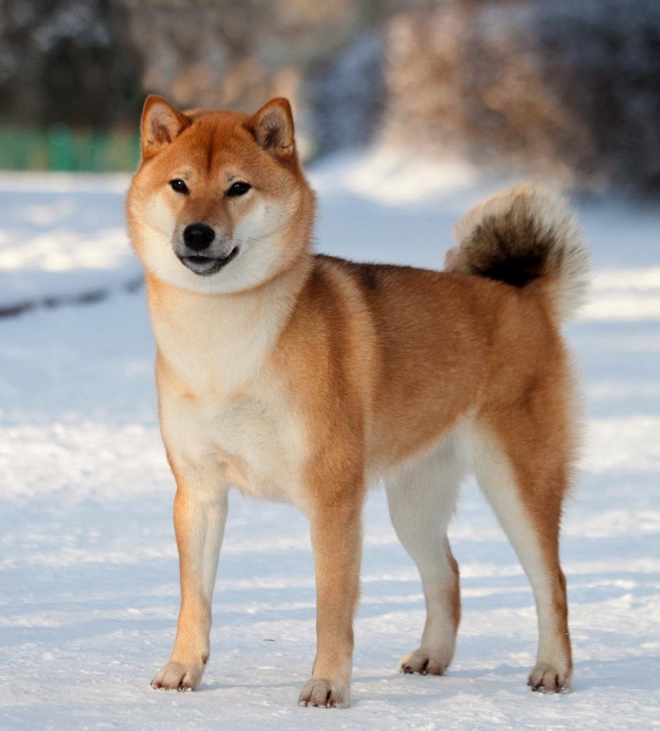 Сиба ину - преимущественно охотничья собака