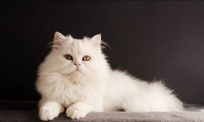 Сибирская белая кошка с классическим золотистым оттенком глаз