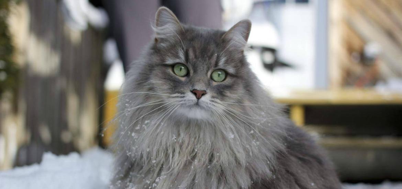 Сибирская кошка быстро снискала успех на выставках