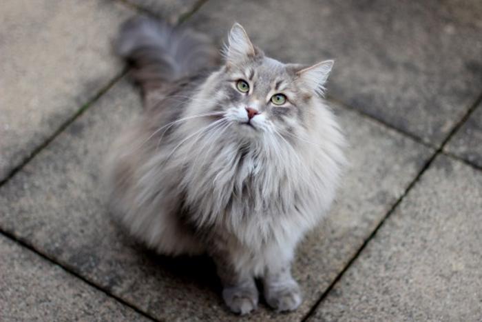 Сибирские кошки игривы и ловки, любят прыгать и дурачиться, особенно в раннем возрасте