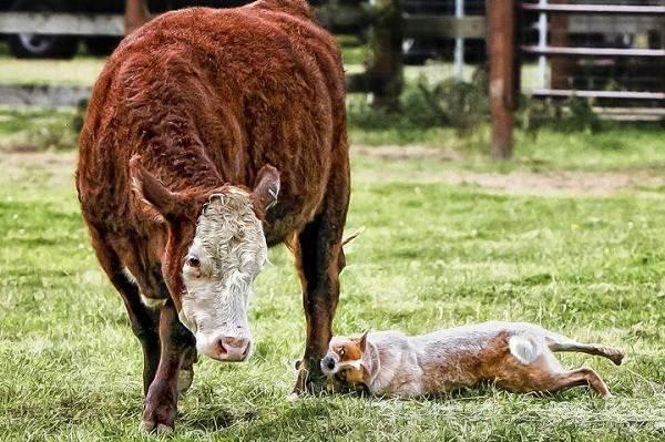 Силу укуса хилер тщательно рассчитывает, чтобы не нанести вред скоту