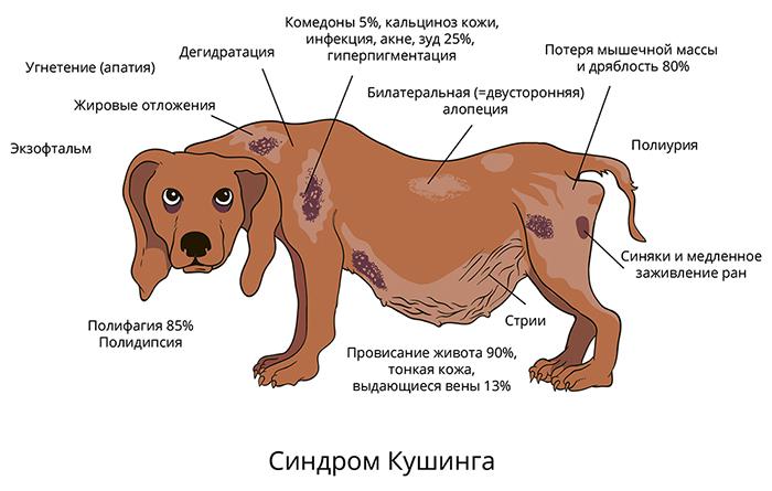 Симптомы болезни Кушинга у собак