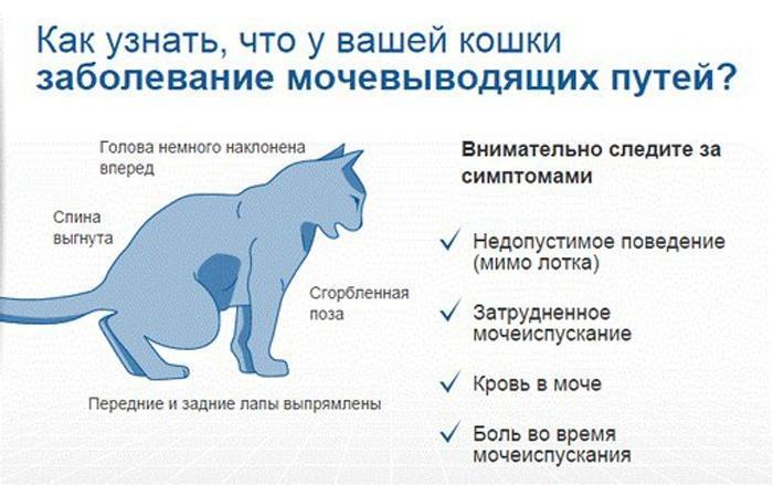 Симптомы заболеваний мочевыводящих путей у кошки