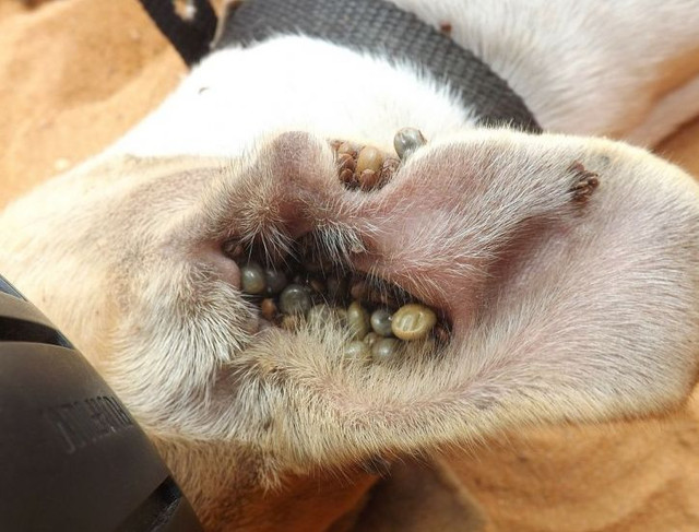 Симптомы пироплазмоза у собак