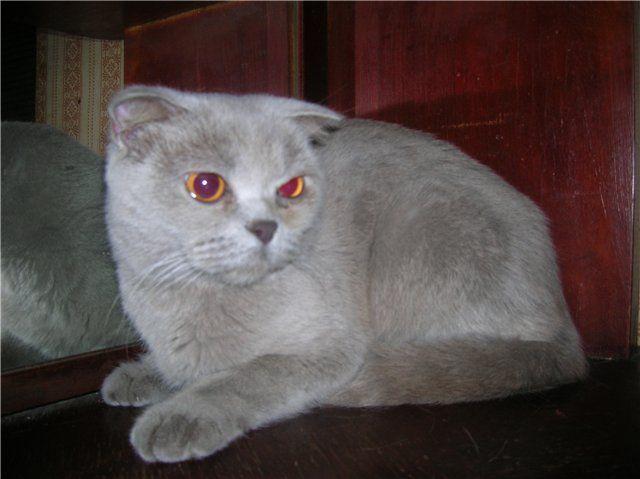 Слизистая шотландской вислоухой кошки мало защищена, поэтому любая грязь может привести к заражению