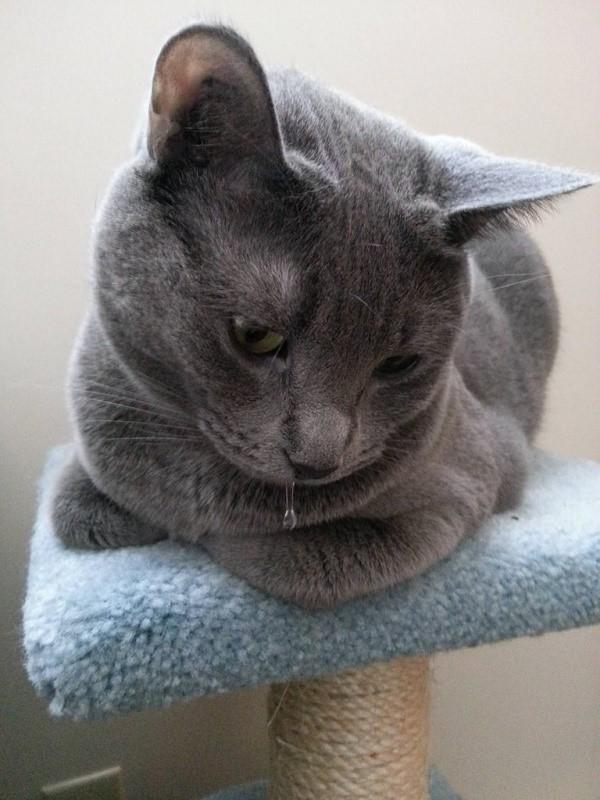 Слюни котов – сильнейший раздражитель, который может исходить от питомца