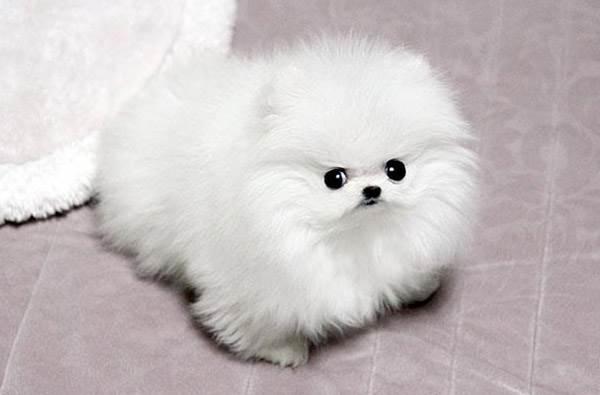 Снежно-белый шпиц