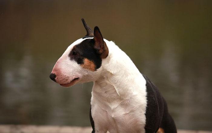 Собака бультерьер