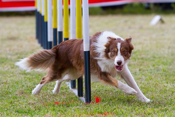 Собака в конкурсе