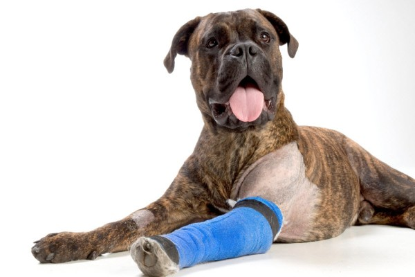 Собака после забора синовиальной жидкости для анализа на наличие инфекции
