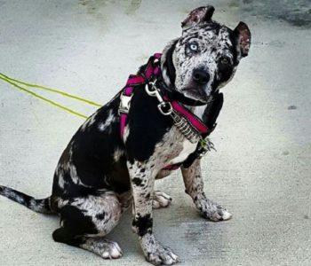 Собака с окрасом шерсти выглядит «Мерль» весьма опасно