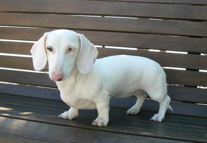 Собаки-альбиносы склонны к кожным заболеваниям