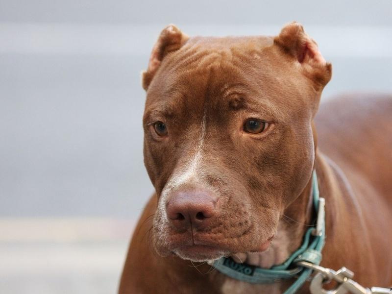 Собаки бойцовских пород появились в человеческих жилищах одними из первых