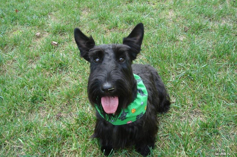 Собаки породы скотч-терьер, отличаются покладистым характером, оригинальным внешним видом и сообразительностью