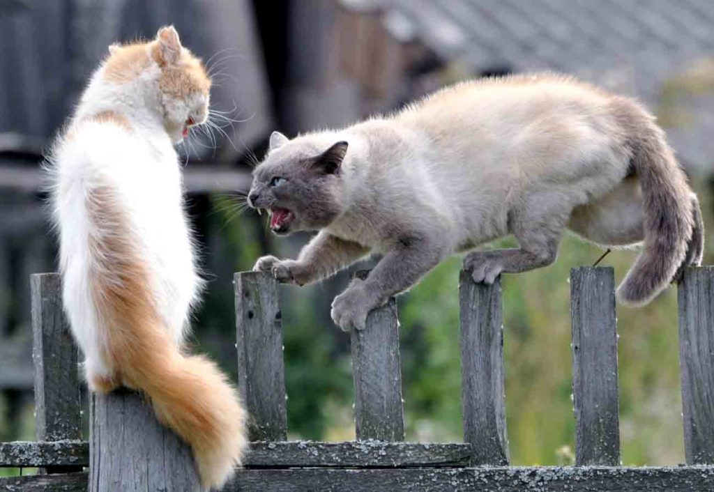 Соперничество между котами происходит вовсе не из-за {amp}quot;вредности{amp}quot;, а в силу реализации ряда инстинктов