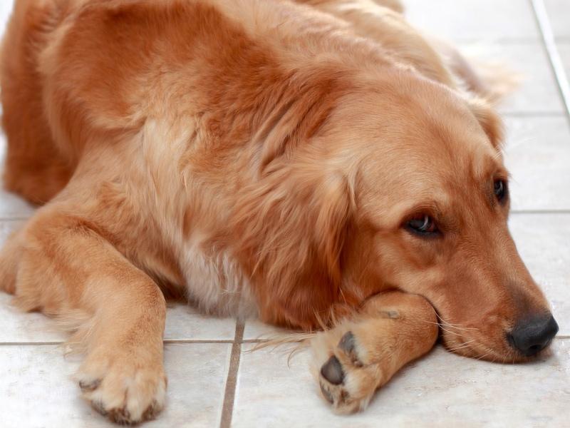 Состояние апатии - сигнал о болезни собаки