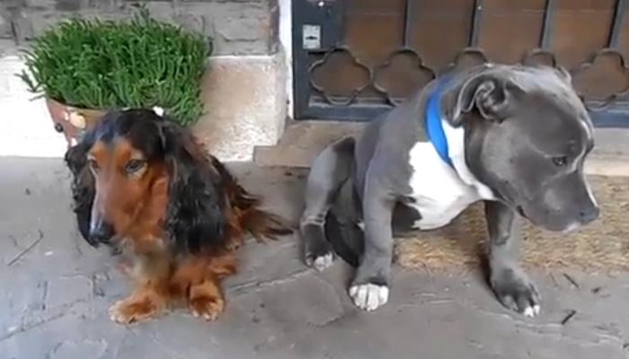 Приучать щенка питбуля к общению с другими собаками нужно с раннего возраста