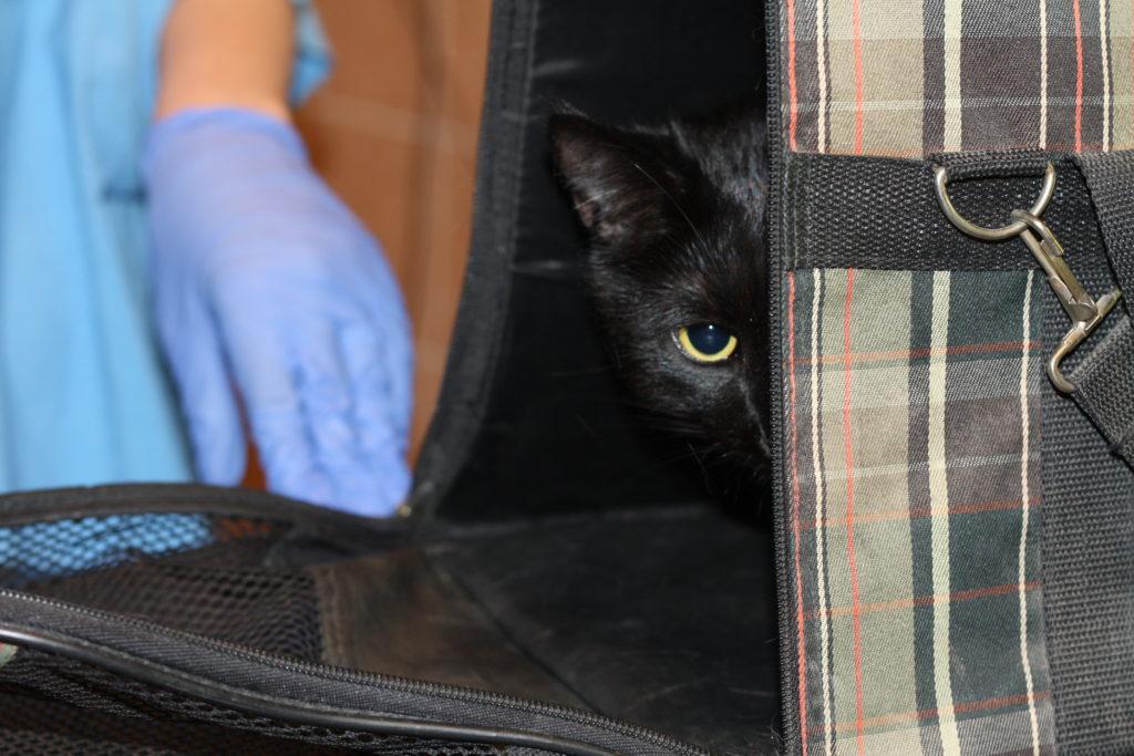 Спокойные в домашних условиях, питомцы могут резко выйти из себя при встрече с другими животными