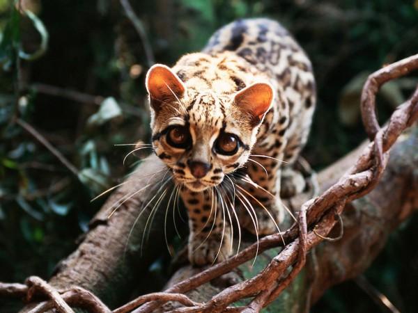Среди всех пород только камышовые коты, будучи дикими хищниками, склонны к добыванию рыбы