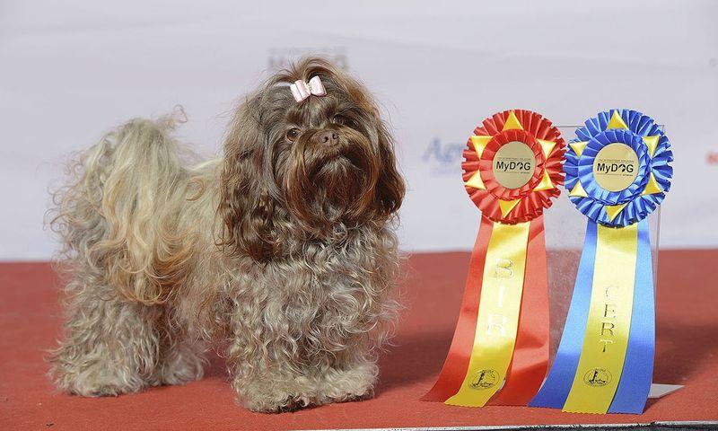 Средняя стоимость породистого щенка русской болонки варьируется в пределах от 100 до 800 долларов