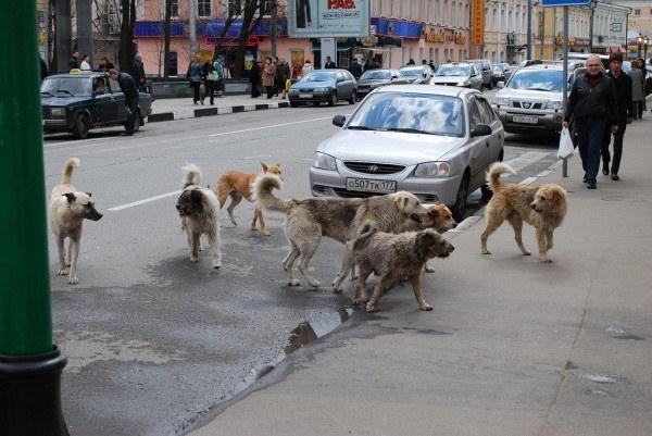 Стаи бездомных собак часто не обращают внимания на человека