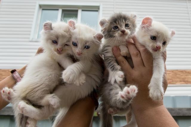 Стоимость котенка американского керла будет зависит от его принадлежности к одной из трех групп