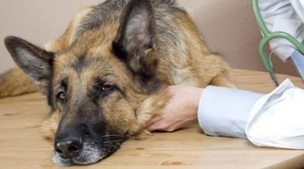 Стоит давать любимцу активированный уголь или нет, можно понять по общему состоянию собаки, а также виду ее фекалий