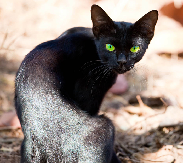Стремительное снижение веса сигнализирует о заболевании желудка у кошки