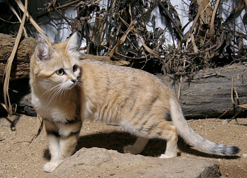 Существует несколько подвидов песчаного кота, а те, что уже открыты - далеко не предел