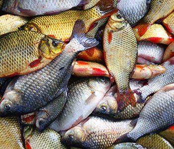 Употребление сырой рыбы способствует проникновению гельминтов в организм