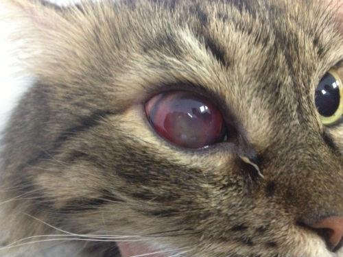 Так выглядит панофтальмит у кошек