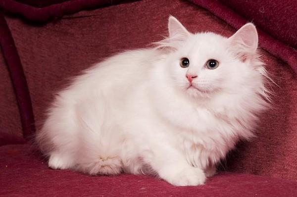 Тискать часами белую сибирскую кошку не получится, поскольку чаще она предпочитает соблюдение дистанции