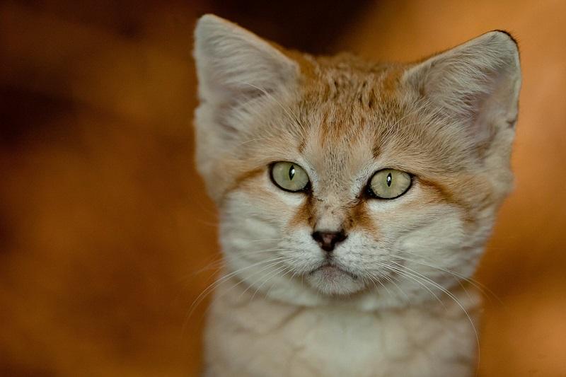 Удачное расположение ушей барханного кота не дает в них забиваться песку и позволяет улавливать тончайшие звуки