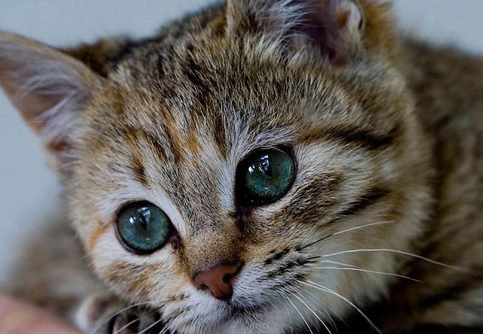 Умеренное слезотечение или покраснение глаз питомца естественно при закапывании капель