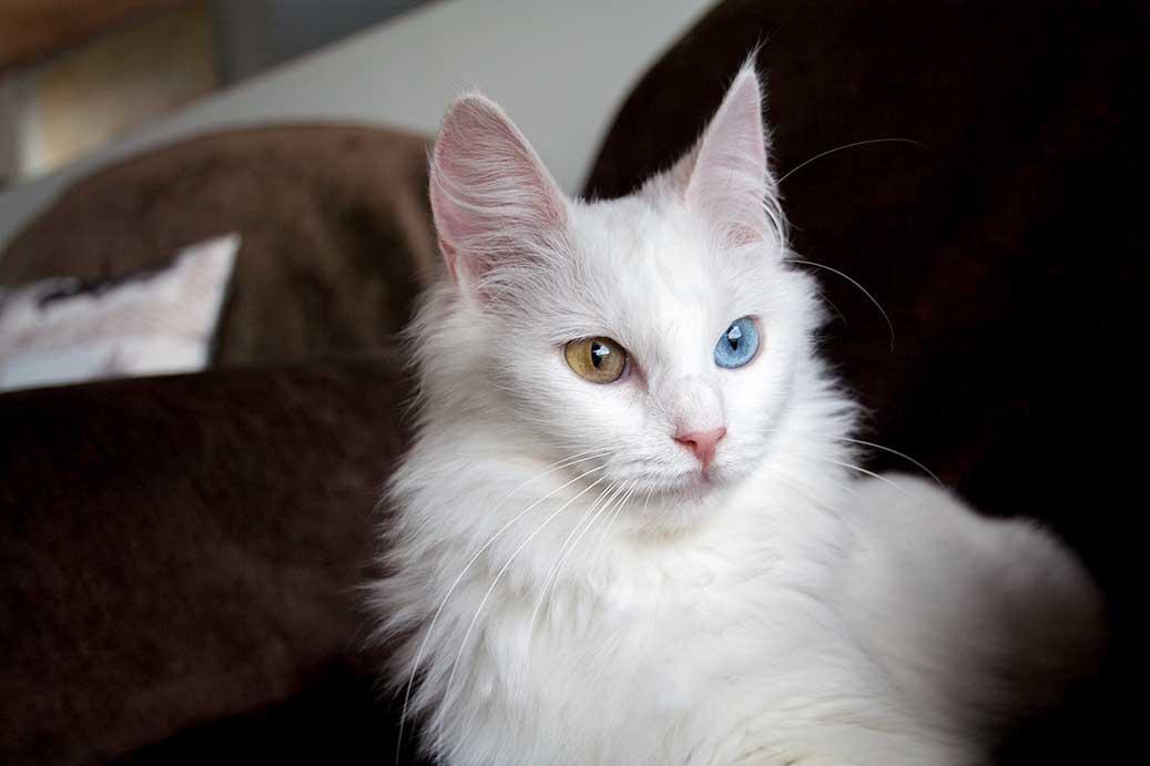 Унаследовать глухоту белые кошки могут и от разноцветных родителей